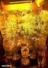 LUBUSKIE 21-latek uprawiał krzaki marihuany w swoim mieszkaniu. Grozi mu do 10 lat więzienia [ZDJĘCIA]