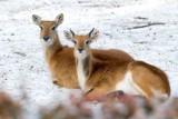 Zima w krakowskim zoo. Niektóre zwierzęta przystosowały się do mrozów, inne pochowały się w ciepłych zakamarkach [ZDJĘCIA]