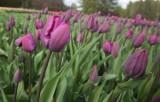 Łódzki Ogród Botaniczny mieni się kolorami dzięki tulipanom [ZDJĘCIA, FILM]