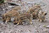 Udomowione dziki z Sępólna uratowane. Tadzik i Danka mogą trafić do Myślęcinka, nie wisi już nad nimi widmo odstrzału
