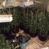 Policjanci zlikwidowali nielegalną plantację marihuany pod Warką