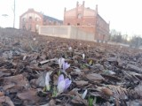 Krokusy w Katowicach. Pierwsze kwiaty kwitną już przy Muzeum Śląskim - zobacz ZDJĘCIA