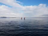 Foka w pobliżu Pucka. Samiec krąży między portem rybackim a strzeżoną plażą   ZDJĘCIA, WIDEO