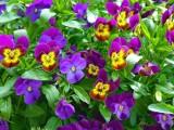 """""""Przygarnij bratka"""". Już dziś możesz odebrać kwiaty z Pola Mokotowskiego. Chodzi o recykling roślin"""