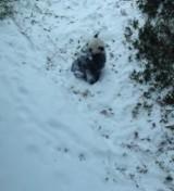 Panda Bao Bao po raz pierwszy zobaczyła śnieg. Internauci ją pokochali [wideo]