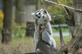 Wrocław. Wyginam śmiało ciało, czyli... zobacz lemury, które przyszły na świat w naszym zoo (ZDJĘCIA)