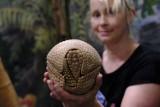 Młody pancernik z toruńskiego zoo ma imię. Sprawdź, jak się nazywa ten niezwykły ssak