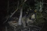 W lesie koło Sławna uratowano wilczycę, która wpadła we wnyki zastawione przez kłusowników [ZDJĘCIA]
