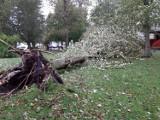 Wiatr powalił ponad 20 metrowe drzewo na osiedlu mieszkaniowym w Ustce. Wyrwał je z korzeniami [ZDJĘCIA]