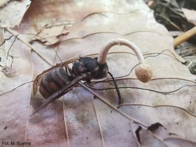 Ten grzyb infekuje, zaraża ofiarę, a na końcu wyrasta w jej ciele.