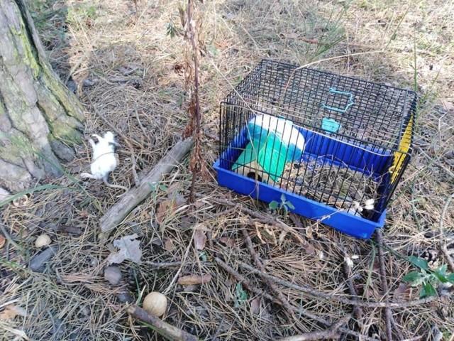 Kto jest odpowiedzialny za ten akt bestialstwa? Poszukujemy osoby, która porzuciła ciężarną szczurzycę i jej młode w bydgoskim lesie!