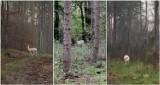 Biała łania daniela w słupsko-usteckich lasach! Niespotykany widok [ZDJĘCIA, WIDEO]