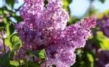 Drzewka ozdobne do ogrodu. Iglaste, liściaste, szybko rosnące, na pniu - które wybrać podczas aranżacji ogrodu przydomowego? [ZDJĘCIA] 28.04