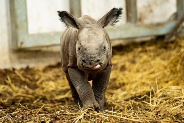 Kiran, mały nosorożec z Wrocławia