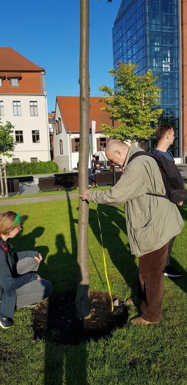 Wolontariusze i członkowie stowarzyszenia MODrzew liczą drzewa w 2-3 osobowych zespołach, w każdym przynajmniej jedna ma specjalistyczną wiedzę na temat drzew