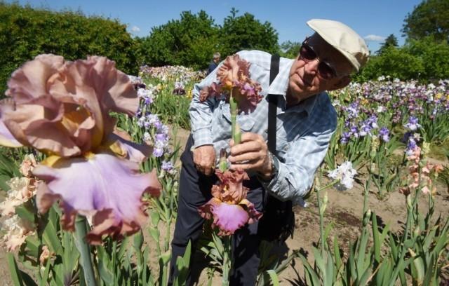 Józef Koncewicz z Zielonej Góry hoduje irysy bródkowe już kilkadziesiąt lat. Pojawił się pomysł, by część tych pięknych kwiatów trafiła na zielonogórskie skwery i cieszyła oko mieszkańców. Jak uważacie, w których miejscach Zielonej Góry powinny pojawić się te niezwykłej urody rośliny?