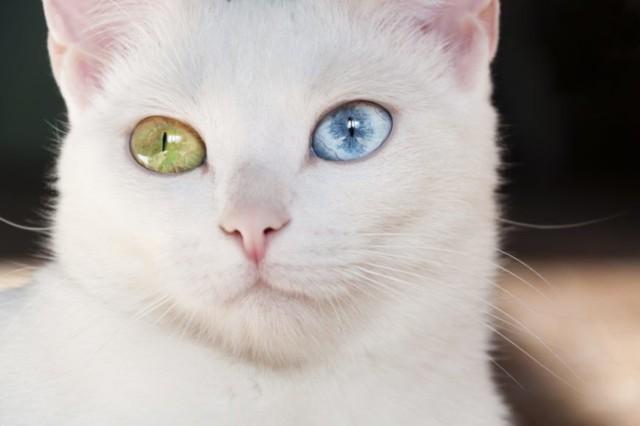"""Khao manee pochodzi z Tajlandii (nazwę można przetłumaczyć jako """"biały diament"""") i jest krewnym kota syjamskiego.  Koty tej rasy są białe i mają oczy w różnych kolorach. Lubią aktywność i zabawę, są towarzyskie i inteligentne, lubią dzieci.  Zobacz inne koty na kolejnych slajdach --->"""
