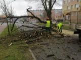 Drzewo na ulicy. Zagrożenie w centrum Goleniowa