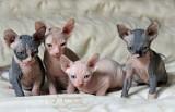 Słodkie czy przerażające? Małe koty bez sierści przykuwają wzrok [ZDJĘCIA]