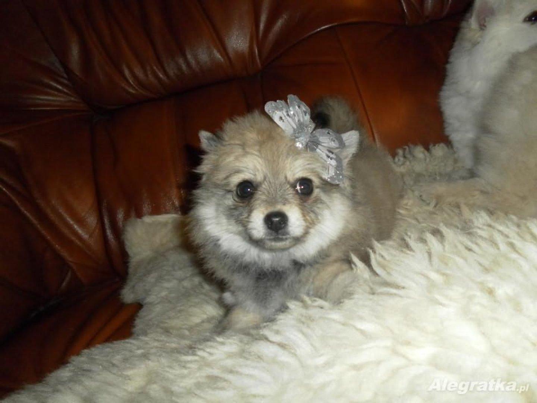 Pies Boo Cena Ile Kosztuje Szpic Miniaturowy Pomeranian