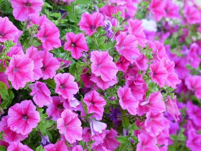 Ukwiecony balkon wygląda pięknie. Ale żeby kwiaty dobrze rosły, musimy wziąć pod uwagę ich wymagania i dobrać odpowiednio do warunków.  W przypadku bardzo nasłonecznionego balkonu, np. skierowanego na południe, sprawa jest trudna, ale nie beznadziejna – wystarczy posadzić odpowiednie kwiaty, które dobrze znoszą, a wręcz kochają słońce. Polecamy 8 gatunków kwiatów, które będą się doskonale czuły na słonecznym balkonie.  Są one łatwe w uprawie, a jedyna rzecz, o której musimy pamiętać – to podlewanie. Ważne jest przy tym, żeby woda nie stała w doniczce lub skrzynce (na dnie powinna być warstwa drenażu), ale codziennego podlewania kwiatów raczej nie unikniemy (wyjątkiem są pelargonie i portulaki, które znoszą przejściową suszę).  Kwiaty balkonowe możemy sadzić praktycznie przez cały sezon.  Kliknij w zdjęcie i zobacz, co posadzić na balkonie, na którym słońce naprawdę grzeje