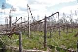 Nadleśnictwo Lipusz. Zniszczony las stał się scenerią zdjęć i filmów. Teraz obowiązuje tam zakaz wstępu