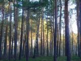 Chełm. Rozpoczęła się wycinka drzew w lesie Borek - obowiązuje zakaz wstępu