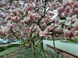 Kluczborska magnolia pięknie zakwitła. To dobry znak! [ZDJĘCIA]