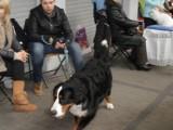 Najwspanialsze  psy na wystawie w Myszkowie ZDJĘCIA