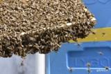 Urzędnicze pszczoły z rekordowym sezonem