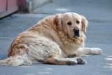 Malbork. Psie odchody na ulicach to temat interpelacji radnego Adama Ilarza. Według burmistrza, właściciele czworonogów po nich sprzątają