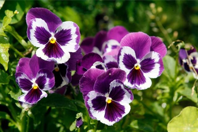 Bratki to popularne kwiaty sadzone w ogródkach, na miejskich rabatach i w skrzynkach balkonowych. Są często wykorzystywane również z racji ich mrozoodporności. Często sadzi się je na jesień i już na wiosnę szybko zaczynają kwitnąć.