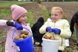 Dzień Ziemniaka w Sławoszynie: wykopki dla dzieci i dorosłych. Tu wiedzą jak połączyć przyjemne z pożytecznym!   ZDJĘCIA