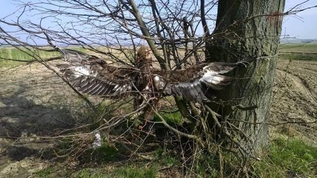 Martwy orzeł przedni w gminie Turobin. Ktoś celowo skrzywdził zwierzę?