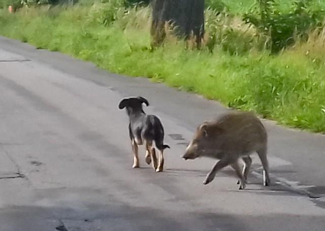 Ta para, pies i dzik, od paru dni krąży po Topolnie (gm. Pruszcz) i okolicach. Widziani byli przy trasie S5, w Zbrachlinie i przy Talerzyku