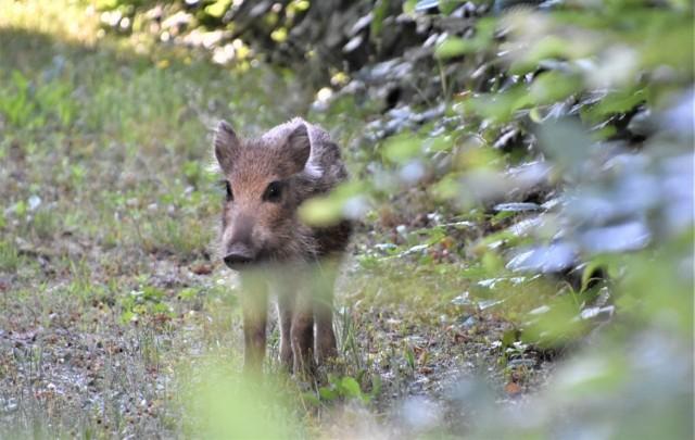 W Polsce pierwsze przypadki ASF wykryto w 2014 roku u padłych dzików, które prawdopodobnie przedostały się z Białorusi