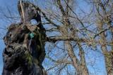 Usycha dąb Chwalibóg, jedno z najstarszych drzew w Wałbrzychu (ZDJĘCIA)