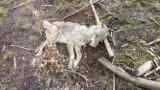 Leśnicy z Dretynia apelują o pomoc w ustaleniu sprawcy zabicia młodej wilczycy. Jest nagroda