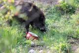 Urząd Miasta Legnicy: W tym roku odłowiono już około 60 dzików. Problem dzikiej zwierzyny w mieście wciąż aktualny