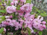 Kolorowo kwitnące drzewa i krzewy w okolicach Przemyśla [ZDJĘCIA INTERNAUTEK]