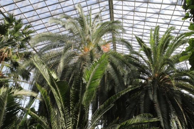 Palmiarnia w Gliwicach bije rekordy popularności.