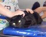 Kot, który uciekł z rozbitego samochodu po wypadku na DK nr 10 odnaleziony! [zdjęcia, wideo]