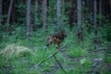 Wilk z Machowej po trzech miesiącach rekonwalescencji wrócił na łono natury