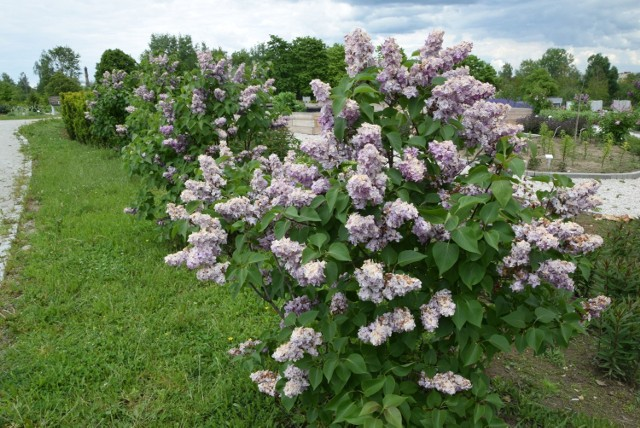Maj rozpoczyna w kieleckim Ogrodzie Botanicznym najbardziej kolorowy okres kwitnienia kwiatów. Obecnie można delektować się widokiem kolekcji pochodzących z Azji różaneczników i azalii.  Zobacz, jakie kwiaty można obecnie tam oglądać w rozkwicie>>>