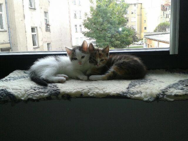 Agatka i Jacuś (to ten biały) – te dwa cudowne kociaki mają 8 tygodni. Są bardzo ze sobą zżyte. Kotki są zadbane, grzeczne, otwarte. Bez problemów znoszą podróże w samochodzie, korzystają z kuwety. Ze względu na swój młodziutki wiek, są w stanie szybko się zaaklimatyzować.  Ich jednym problemem jest brak stałego, prawdziwego, ciepłego domu. Ten, kto zdecyduję się na przygarnięcie tego genialnego duetu, z pewnością nie pożałuje. Przebywają w schronisku w Legnicy. Kontakt w sprawie adopcji: 784 093 542.