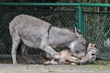 Osły z Zoo w Poznaniu znowu razem - Zobacz, jak bawią się Tadzik z Napoleonem [ZDJĘCIA]