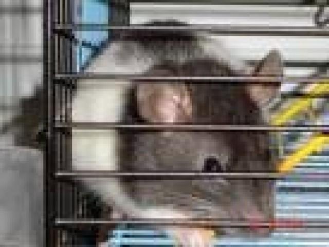szczur w rzeczy samej..inteligentny, przebiegły, myślący jak dojść do celu