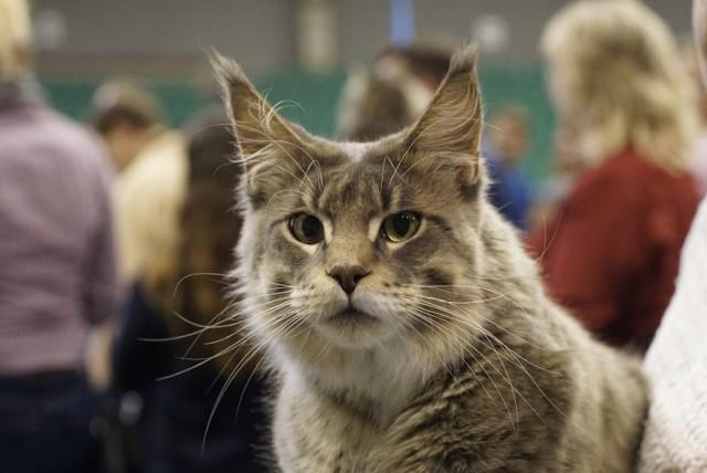 W hali Arena znów można podziwić najpiękniejsze koty, które przyjechały na Międzynarodową Wystawę Kotów Rasowych. Impreza trwa w sobotę i niedzielę. Zobacz kocie piękności!