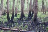 Biebrzański Park Narodowy miesiąc po pożarze. Przyroda odradza się na pogorzelisku (zdjęcia)
