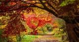 """Na """"Spacer po czerwonym dywanie"""" zaprasza arboretum w Rogowie. Będzie można zobaczyć niesamowicie przebarwione klony"""